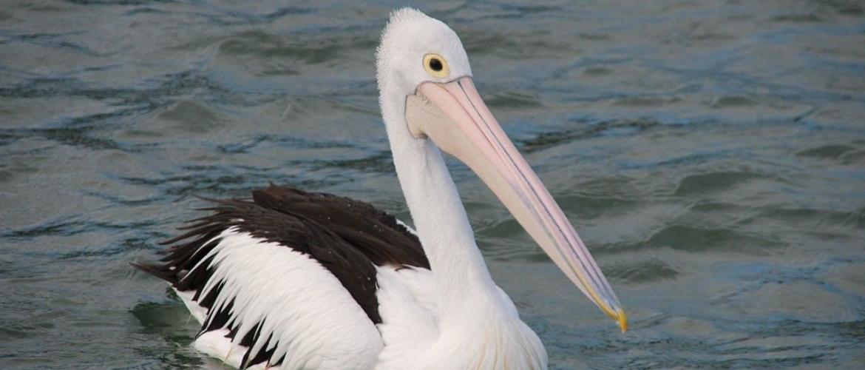 Pelican-came-calling_optx500