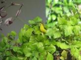 Female Sunbird