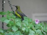 Male Sunbird 3