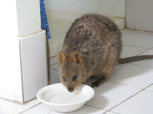 Mocha the quokka having a drink