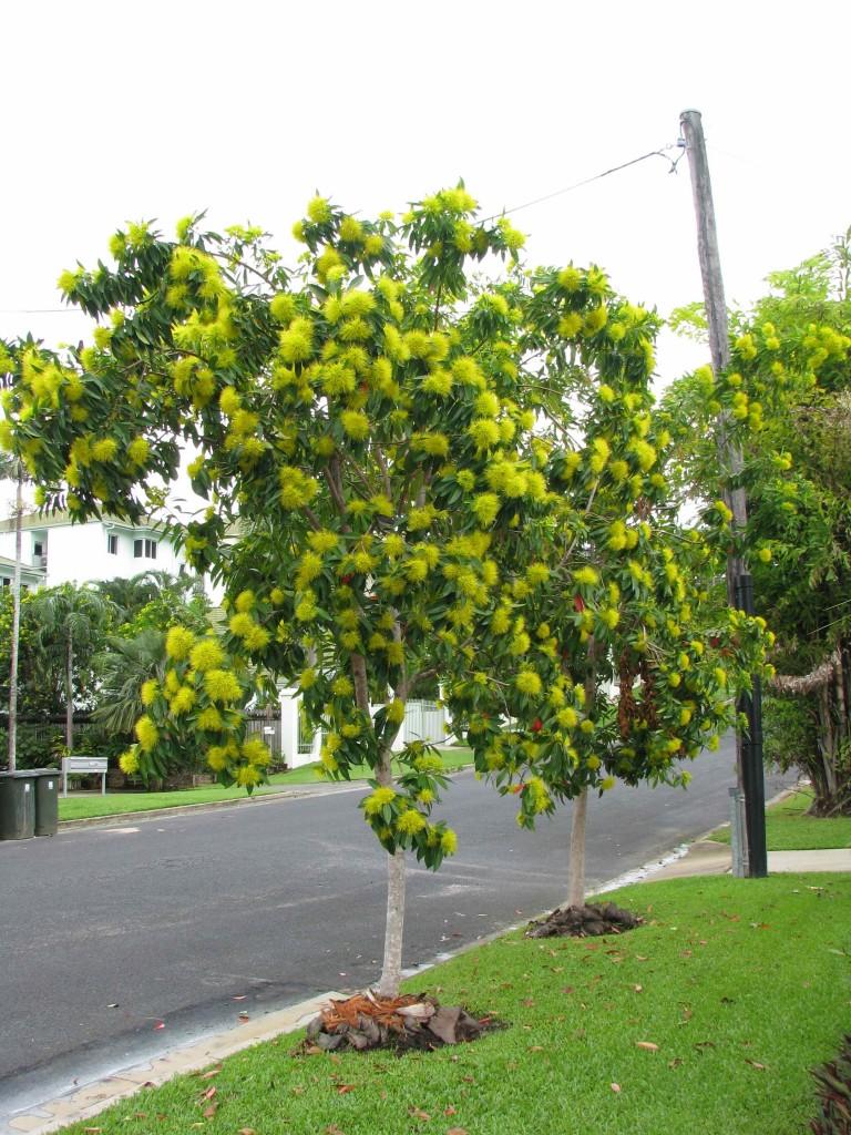 Helene Young, Cairns, Golden Pendas
