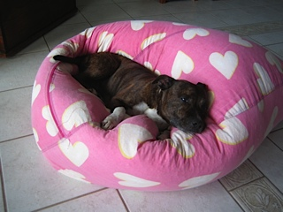 Staffordshire Bull terrier in his natural surrounds
